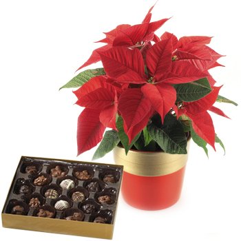 Poinsettia Plant and Holiday Chocolates