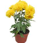 Sunlit Chrysanthemum Plant